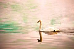 Лебедь плавая самостоятельно Стоковое Фото