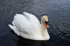 Лебедь плавая 2 Стоковое Изображение