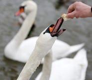 Лебедь руки подавая на зиме Стоковая Фотография RF