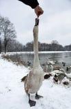 Лебедь руки подавая на зиме Стоковые Фото