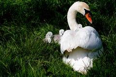 Лебедь семьи стоковые фото