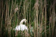 Лебедь сидя на гнезде Стоковое Изображение RF