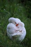 Лебедь спать Стоковое Изображение RF