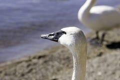 Лебедь стоя на береге смотря вперед вне на озере с целью, w Стоковые Изображения