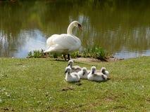 Лебедь с временем 5 молодых лебедей весной стоковые фото