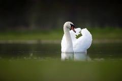 Лебедь с крылами вверх на озере Стоковые Фото