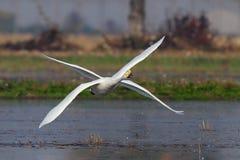 Лебедь с 4 крылами Стоковое фото RF