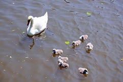 Лебедь с молодыми лебедями на реке Эвоне Стоковое Изображение