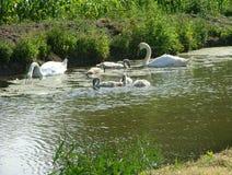 Лебедь с молодыми лебедями Стоковая Фотография