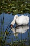 Лебедь с отражением Стоковые Изображения