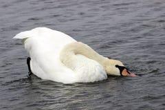 Лебедь с сдобренной шеей Стоковое Изображение