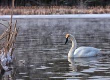 Лебедь трубача Стоковая Фотография