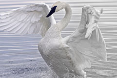 Лебедь трубача Стоковые Изображения