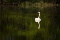 Лебедь трубача Стоковые Фото