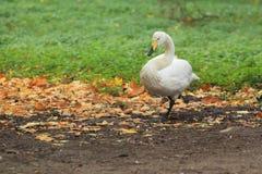 Лебедь тундры Стоковые Изображения