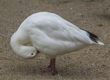 Лебедь утки Стоковая Фотография
