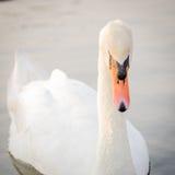 Лебедь. Стоковые Изображения RF