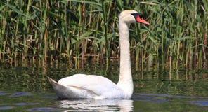 Лебедь Стоковые Фото