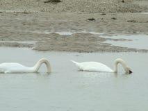Лебедь 2 Стоковая Фотография RF
