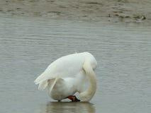 Лебедь 3 Стоковые Фото