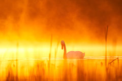 Лебедь Стоковые Изображения RF