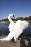 Лебедь Стоковое фото RF