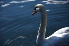 Лебедь Стоковое Фото