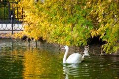 Лебедь Стоковое Изображение