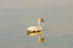 Лебедь 3 Стоковое Фото