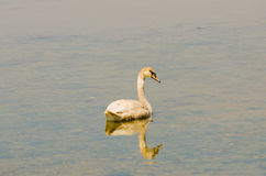 Лебедь 1 Стоковое фото RF