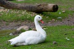 лебедь coscoroba Стоковые Фотографии RF