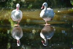 Лебедь Coscoroba Стоковое фото RF