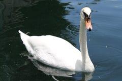 Лебедь Eola озера Стоковое Изображение