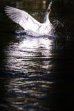 Лебедь Narcissus Стоковые Фотографии RF