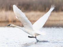 Лебедь Trumpter Стоковые Фото