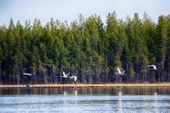 Лебедь Whooper летая над рекой taiga Стоковые Изображения