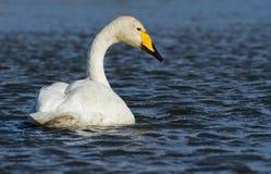 Лебедь Whooper Стоковое Изображение