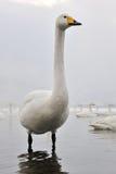 Лебедь Whooper Стоковая Фотография RF