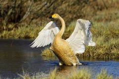 Лебедь Whooper Стоковые Изображения