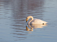 Лебедь Whooper Стоковое Фото