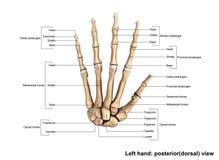 Левая рука Posterior& x28; dorsal& x29; взгляд Стоковая Фотография RF