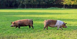 Левые и правые свиньи в поле Стоковое Фото