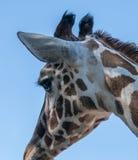 Левый портрет профиля жирафа Стоковые Фото