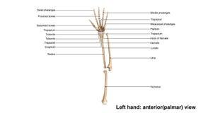 Левый руки взгляд польностью anterior palmar иллюстрация вектора