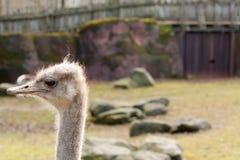 Левый страус вытаращиться стоковое фото rf