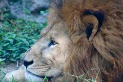 Лев большой кошки большой Стоковое Изображение