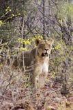 Лев в африканском кусте стоковые фотографии rf