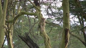 Лев в дереве акции видеоматериалы