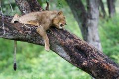 Лев в дереве Стоковое Изображение