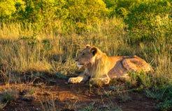Лев в ждать Стоковое Изображение RF
